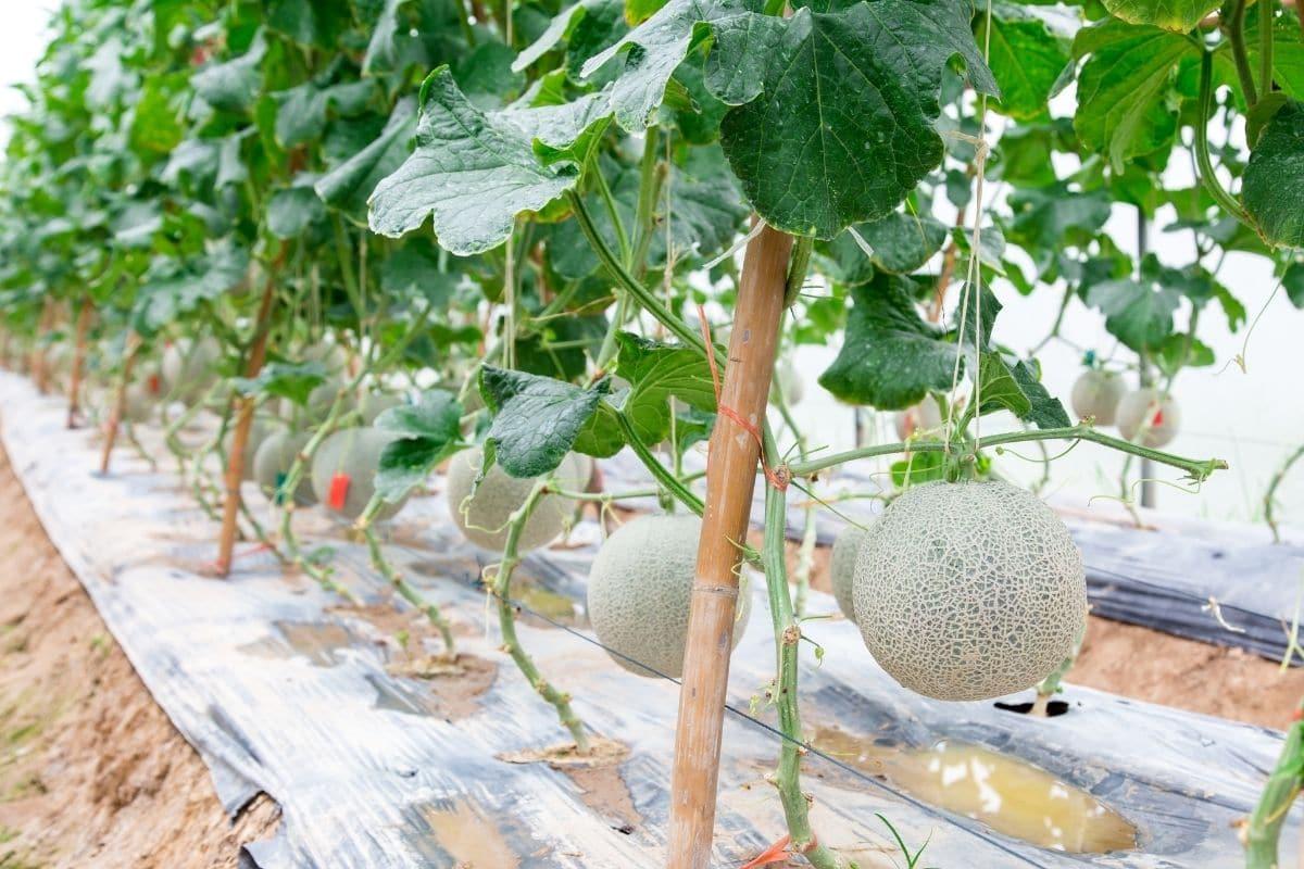 Row of melon tree in the farm