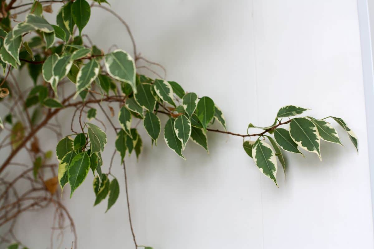 Weeping Fig branch in a white wall