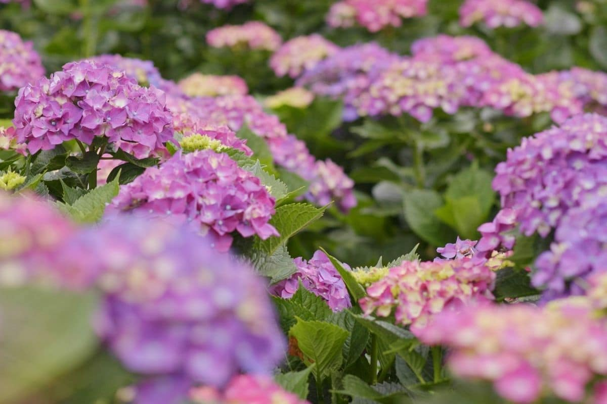 purple and pink colored hydrangea blooming in the garden
