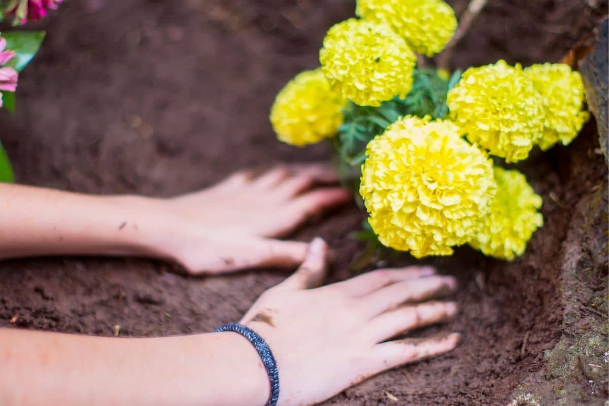 planting yellow marigold in the garden