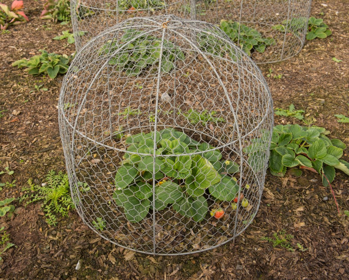 plant in the garden with squirrel-proof wired cloche