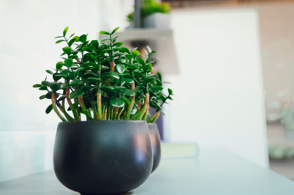 Jade Plant in a black white pot in the office