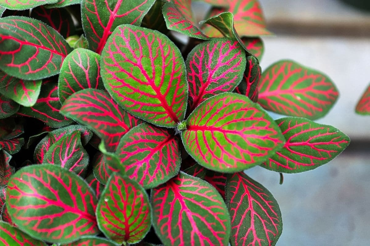 Nerve Plant or or Fittonia with green leaves with deep reddish pink veins growing in the garden