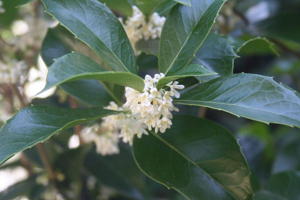 Tea Olive or sweet osmanthus with white flowers