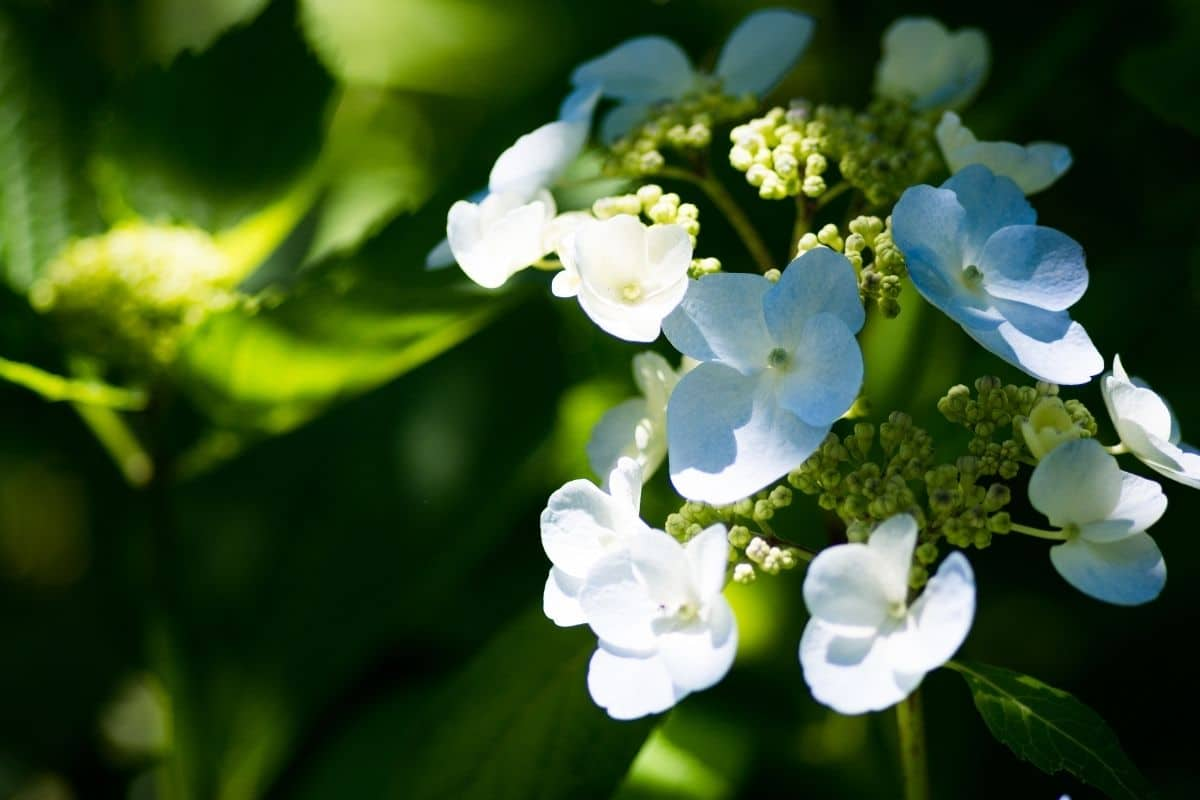 white hydrangea with a bit of shade in the garden