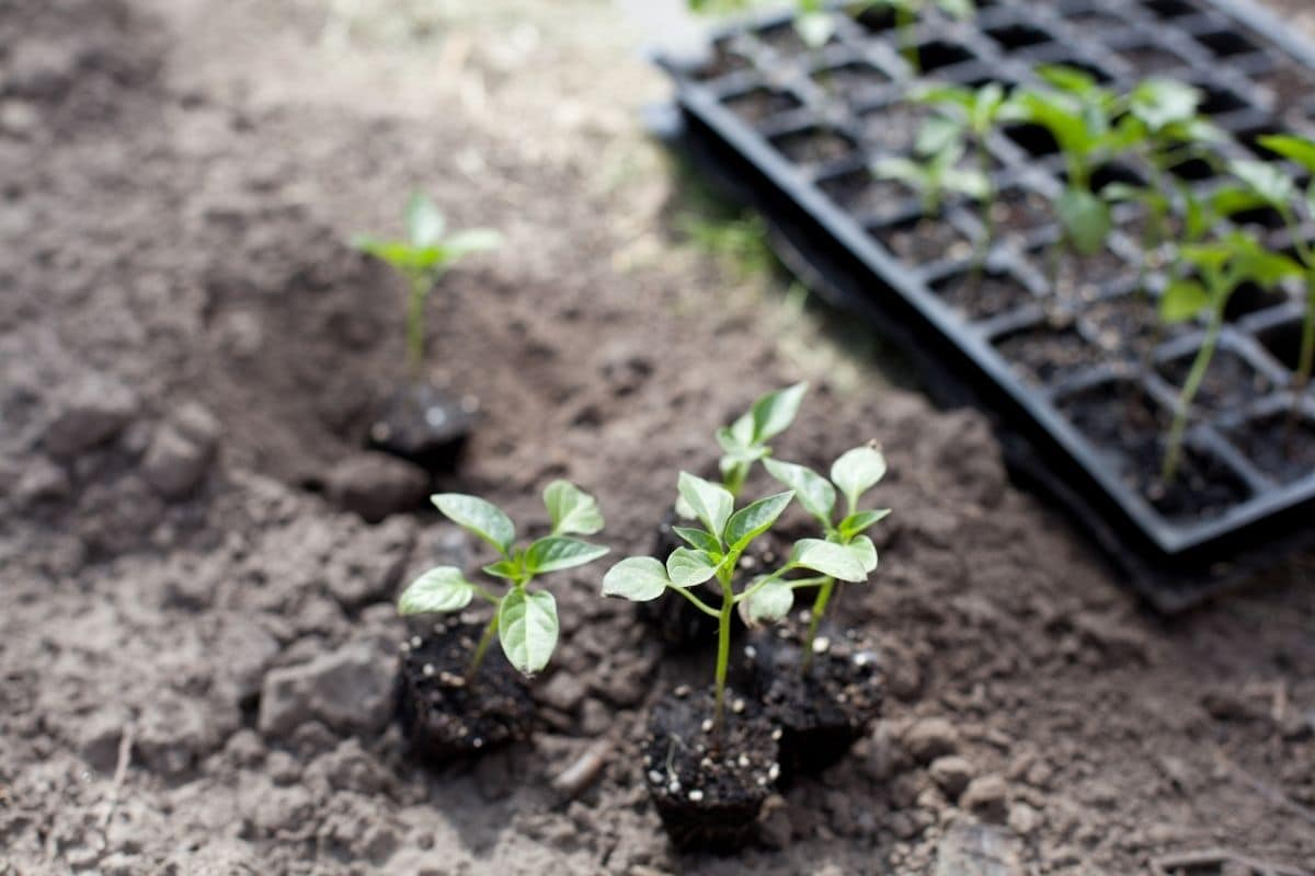 small seedlings placed in the garden ground ready for planting