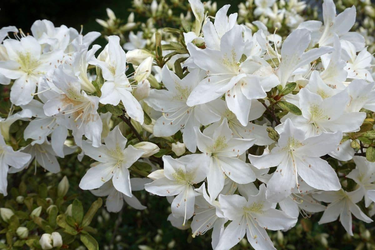 white azalea flowers in the garden