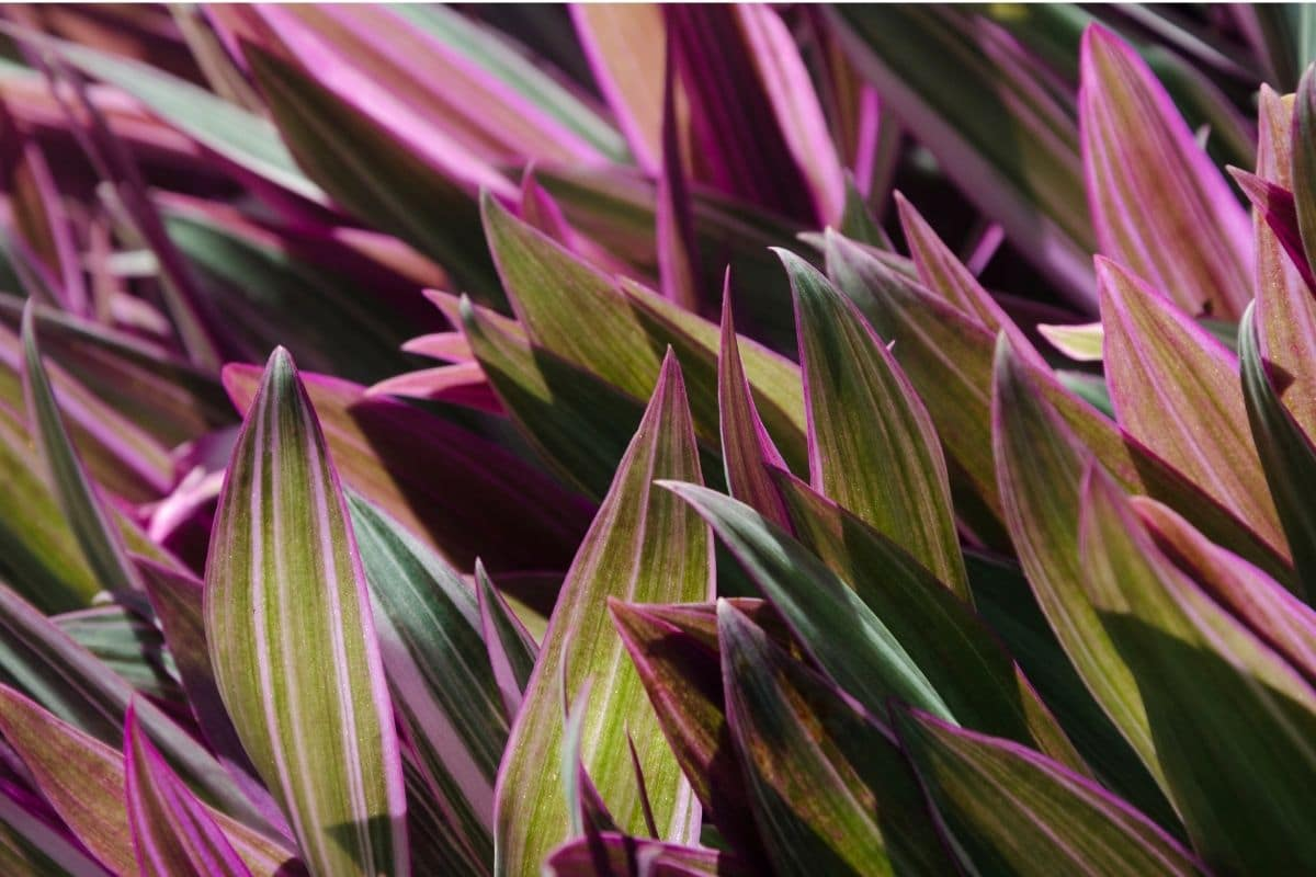 Moses in the Cradle also known as Tradescantia spathacea or boat lily, with waxy green leaves and glossy puple underneath