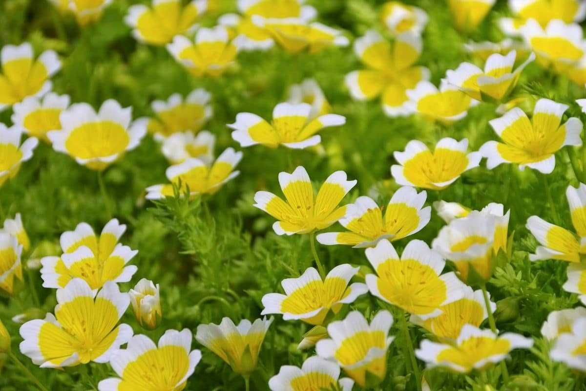 bunch of poached egg plant flowers with white and yellow colors blooming in the garden
