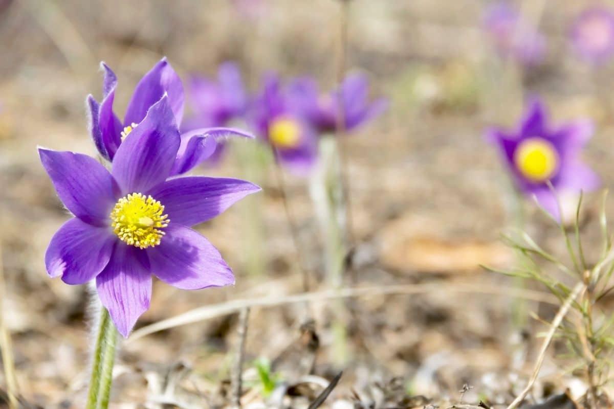 purple pasque flower outdoors