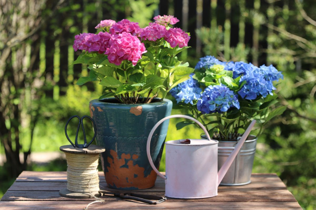 hydrangea flower growing in pots on top of the table outdoors with watering pot