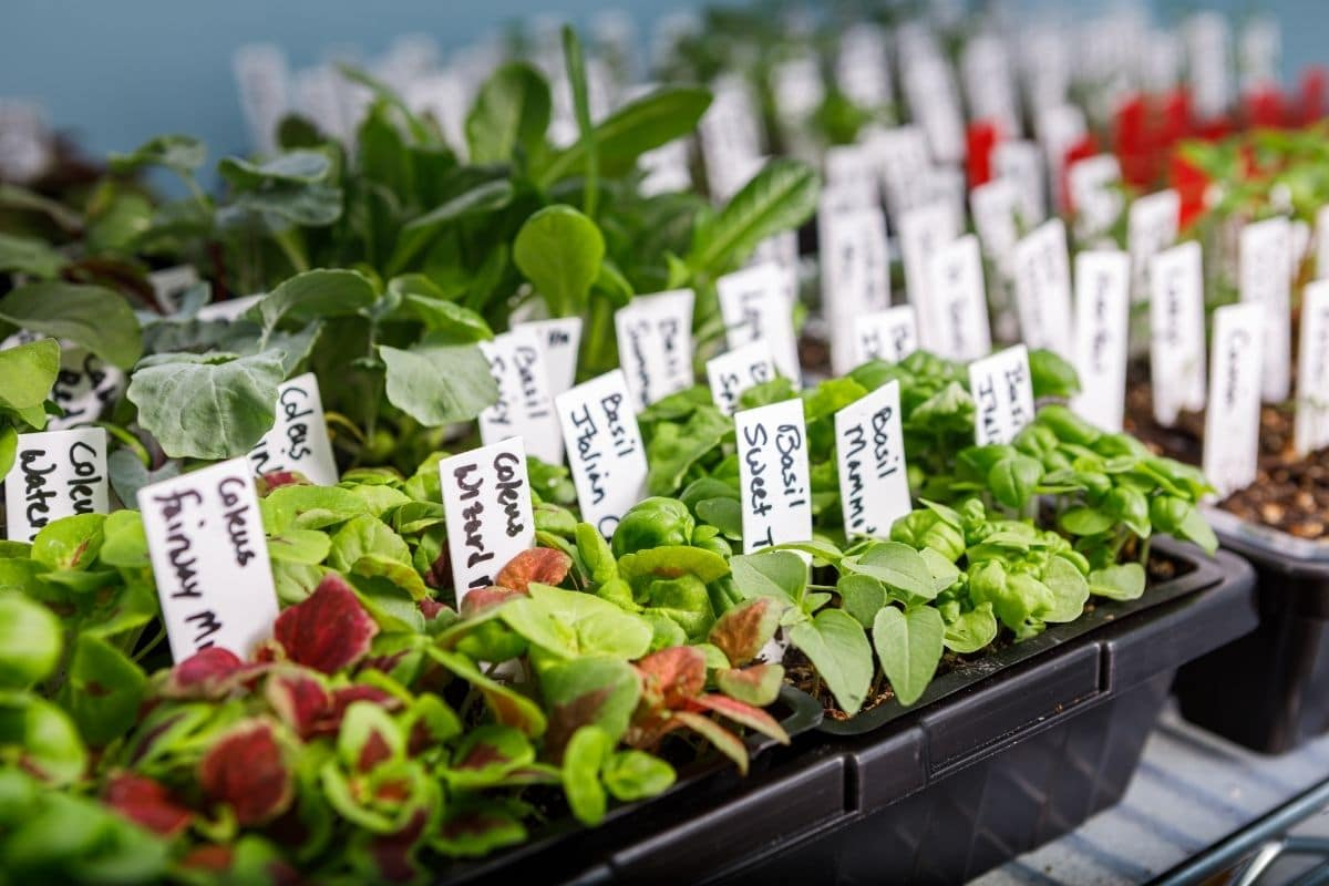 growing vegetable plants in containers with label, or identification