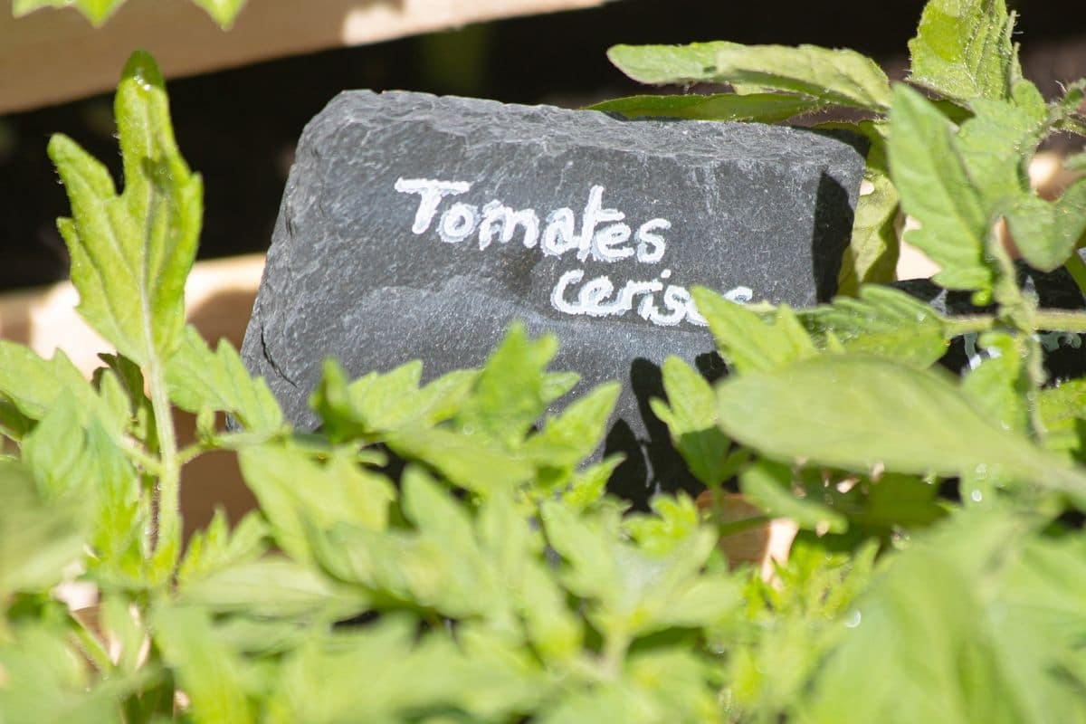 green tomato leaves with mark or label in a stone
