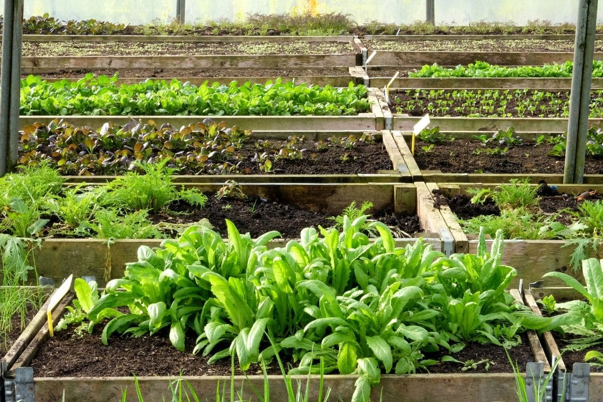 growing vegetables in a raised bed