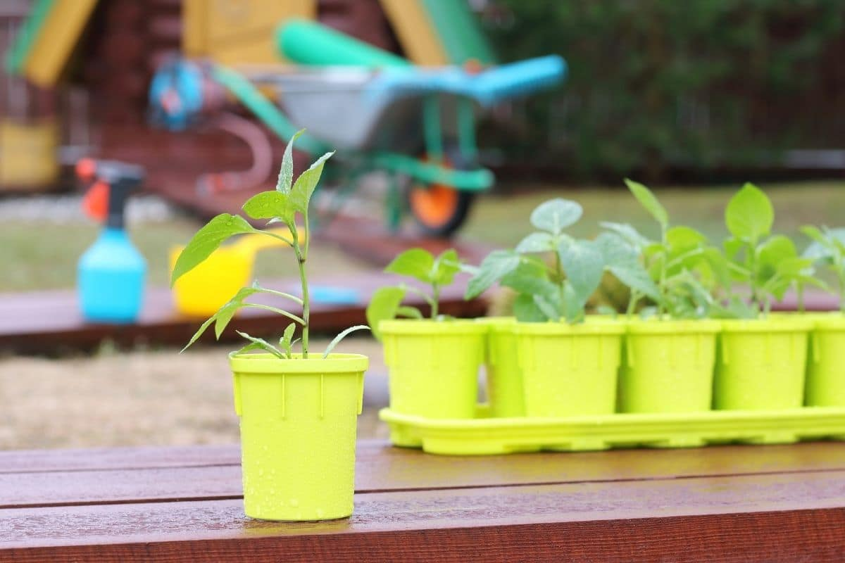 a young growing plant in a yellow pot lined up in the garden for transplanting