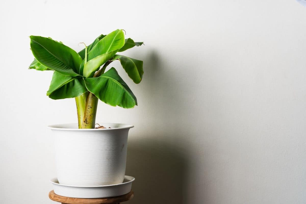 Dwarf banana tree in a pot indoors
