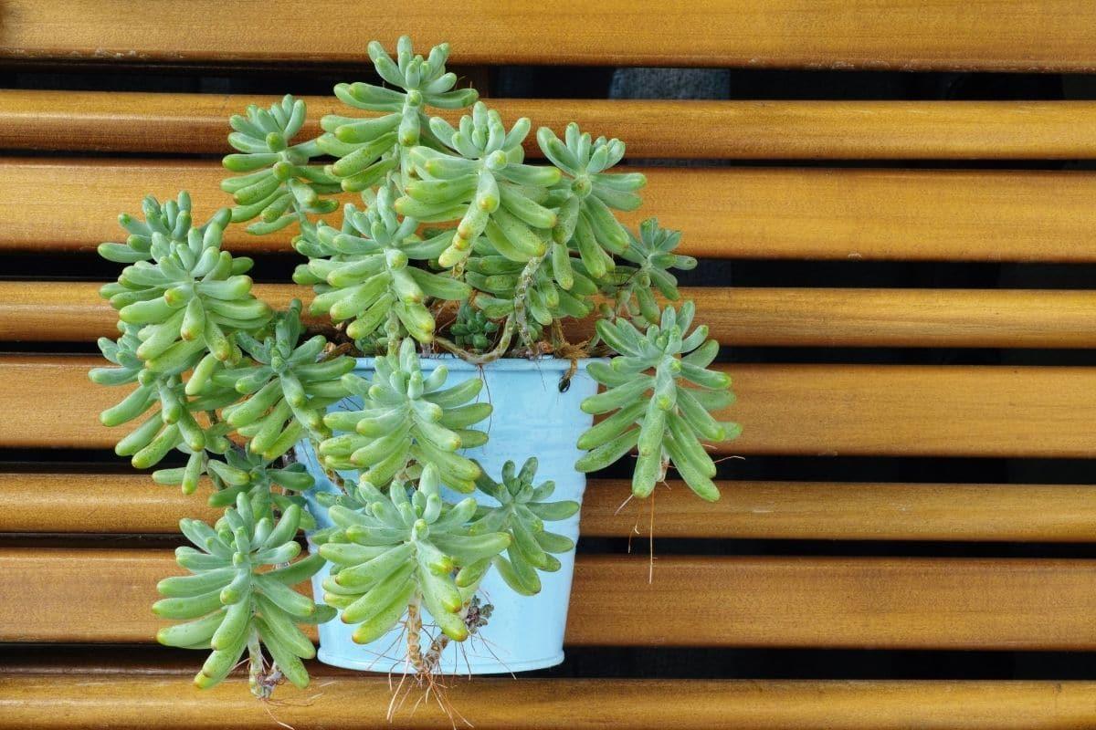 Peporomia Ferreyrae or Happy Bean, in a blue flower pot