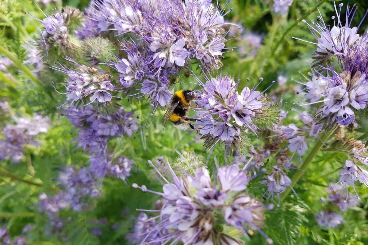 bees feeding flower purple phacelia flowers in the garden