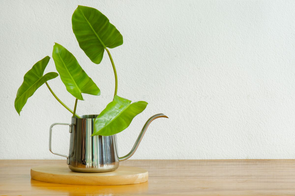 Philodendron in a stainless steel kettle pot on top of the wooden table