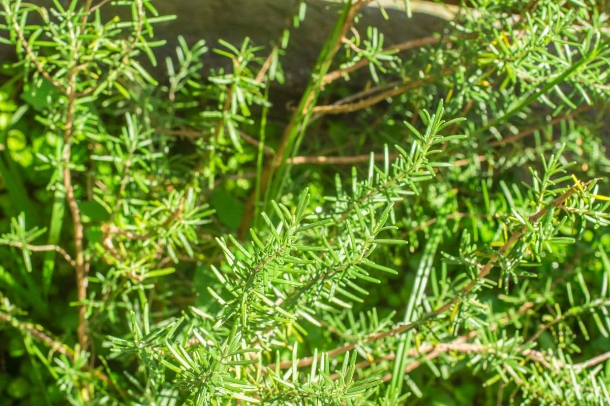 rosemary herb growing in the garden