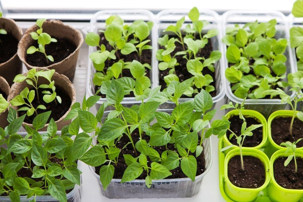 indoor vegetable garden by the window getting sunlight, starting seeds indoors