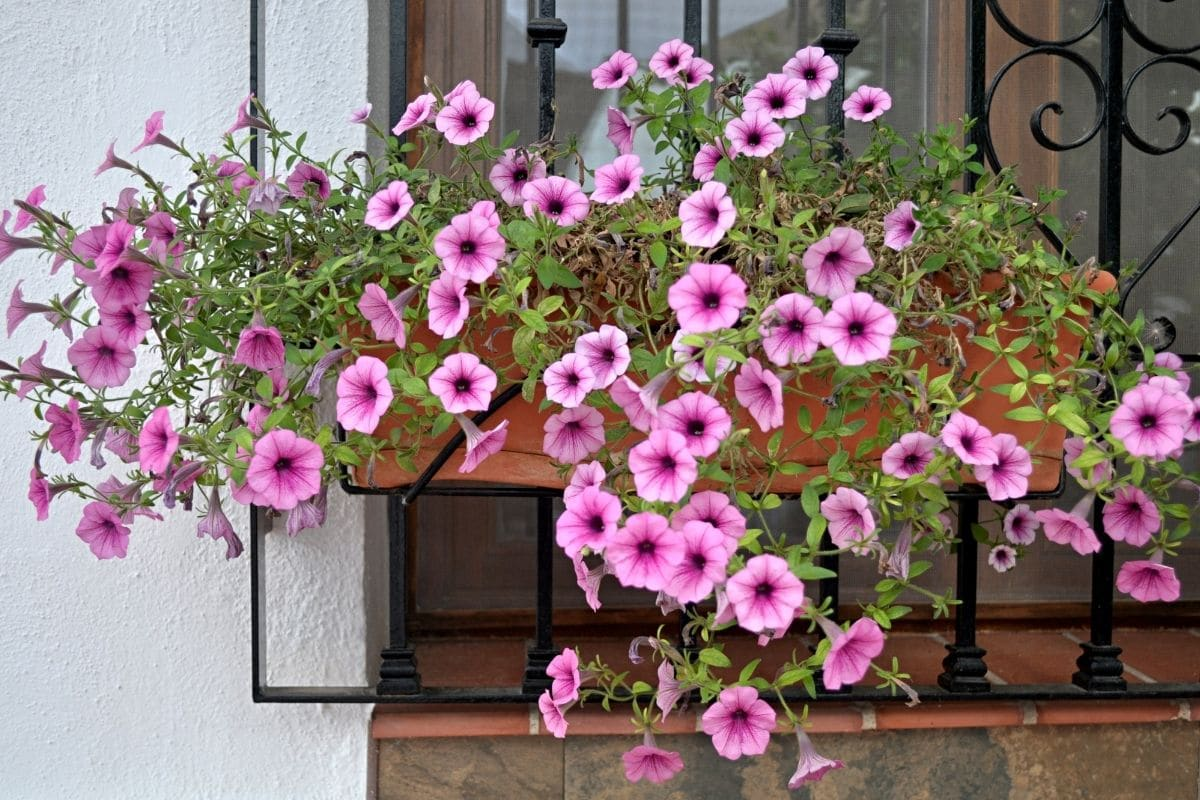 petunia flowers by the windowsill of a house