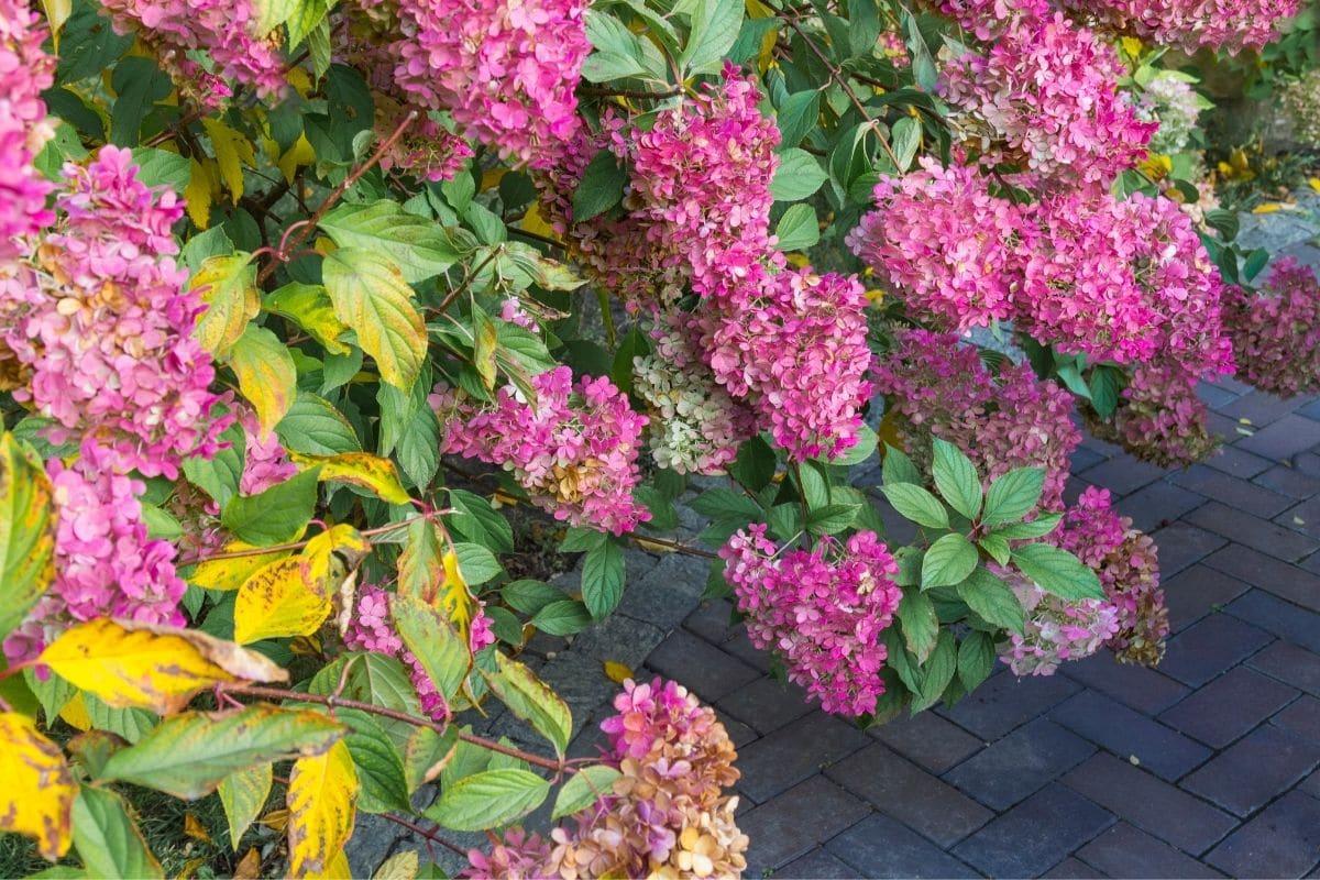 wilting pink hydrangea flower