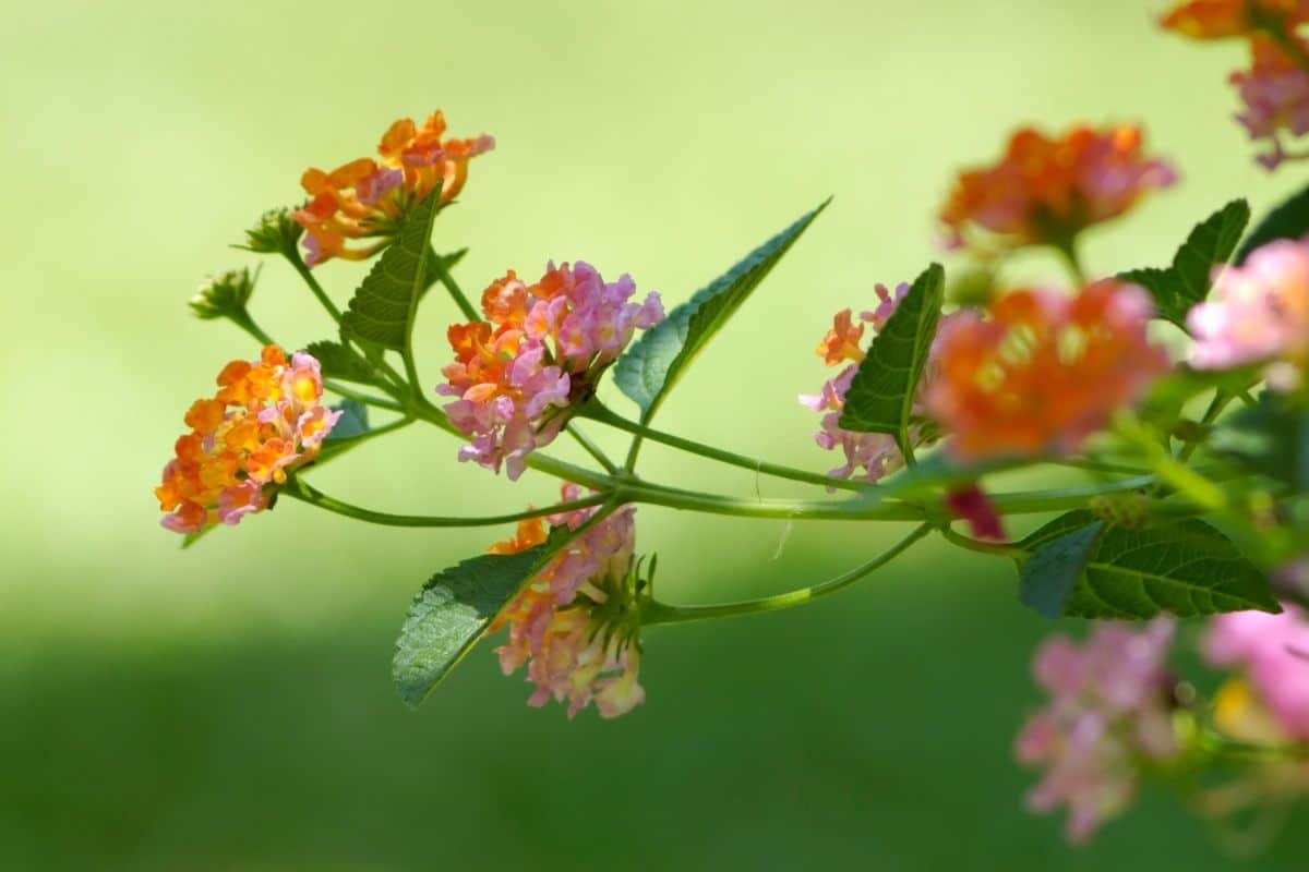 Lantana in a shady part of the lawn