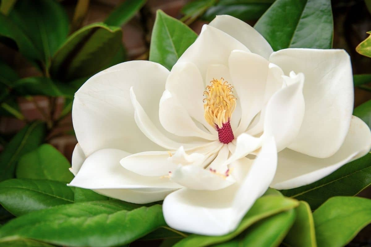 beautiful white flower of magnolia in the garden