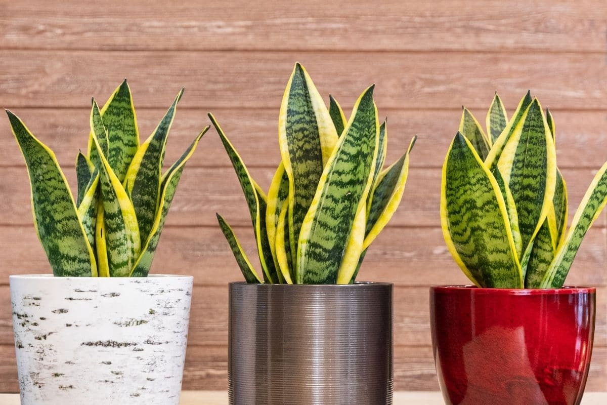 Three snake plants in pots indoors with wood background