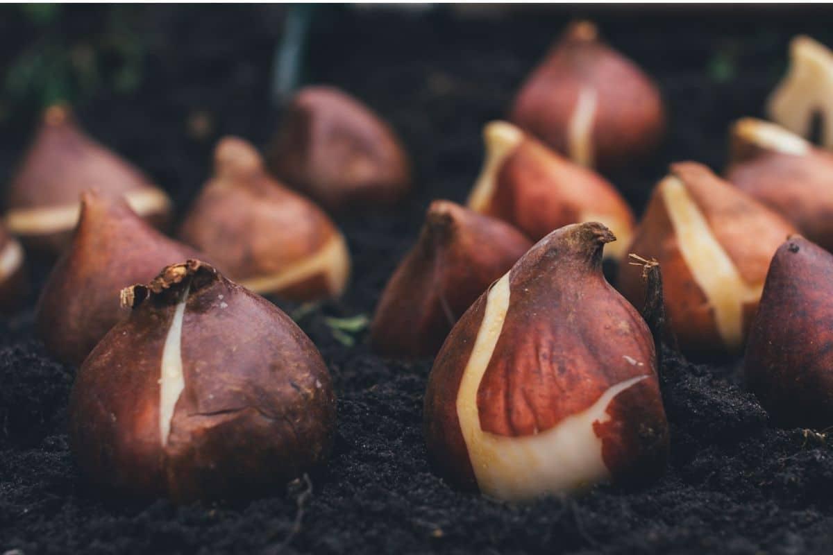 union bulbs in a soil in the garden