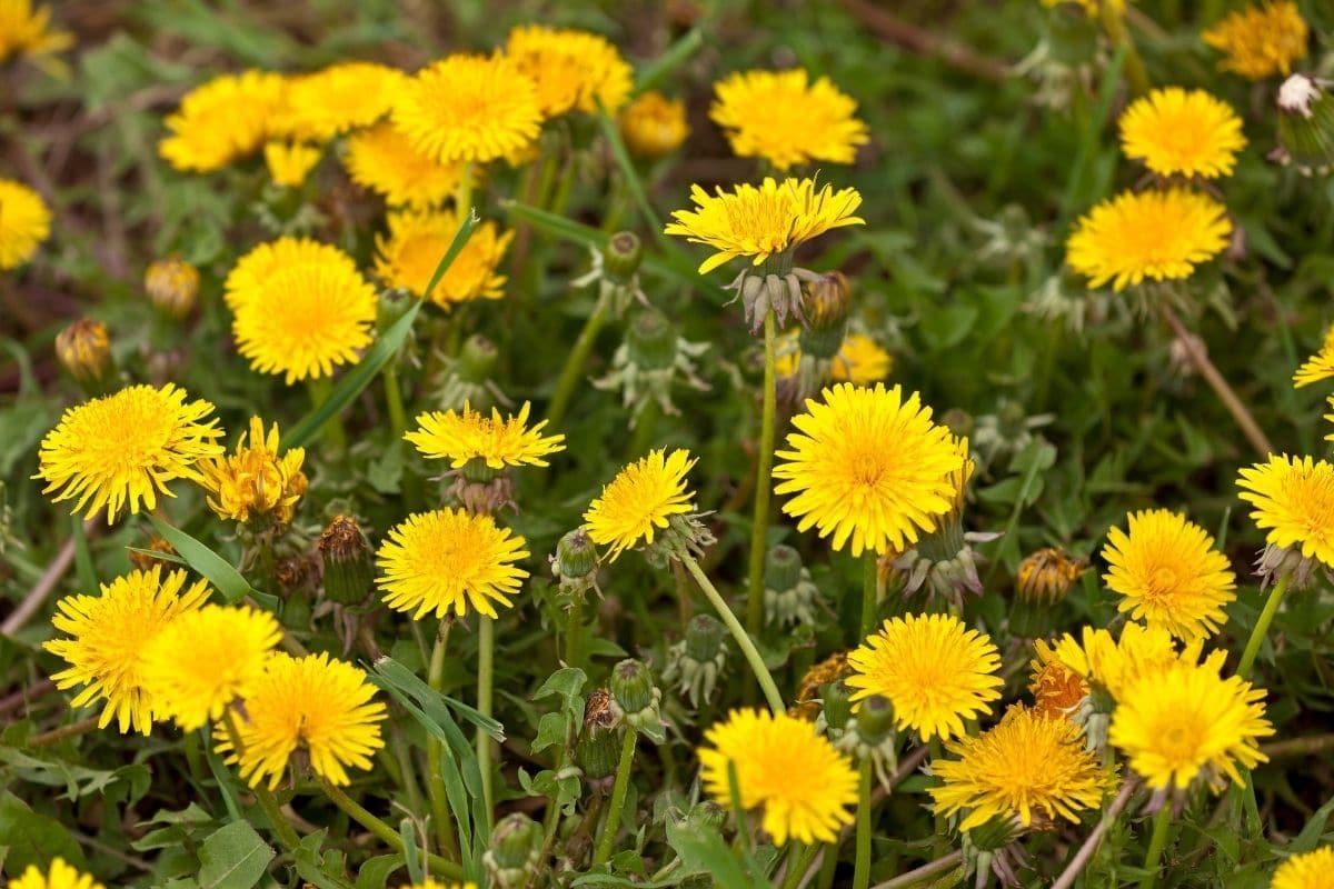 dandelion weeds in the garden
