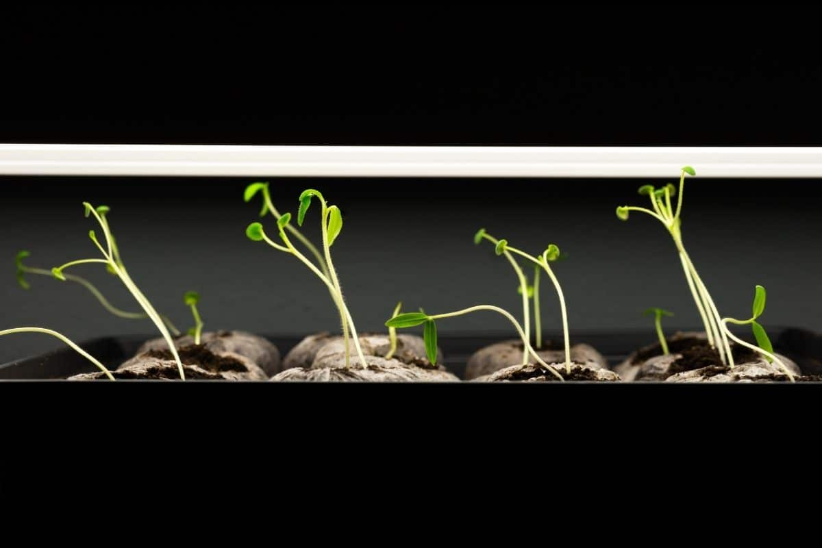 young sprouts growing under grow light indoors