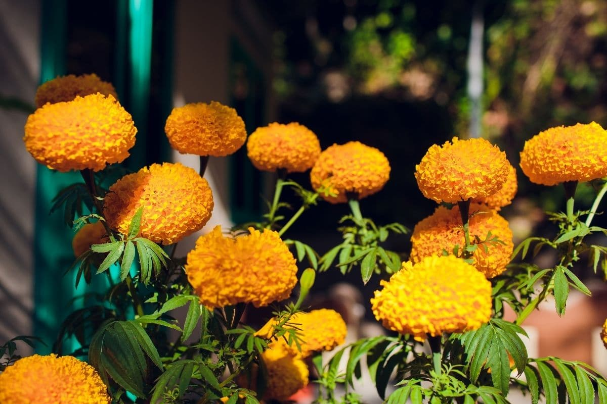 Yellow chrysanthemums blooming in the balcony