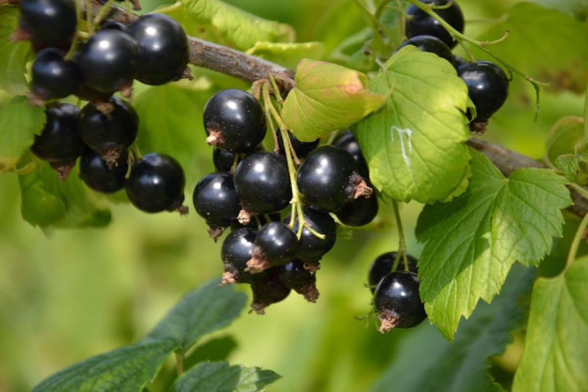 bunch of black currants in the garden
