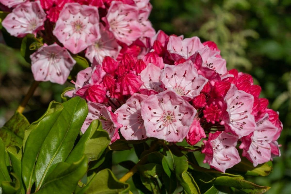 mountain laurel with pink flowers and green leaves growing under the sunlight in the garden