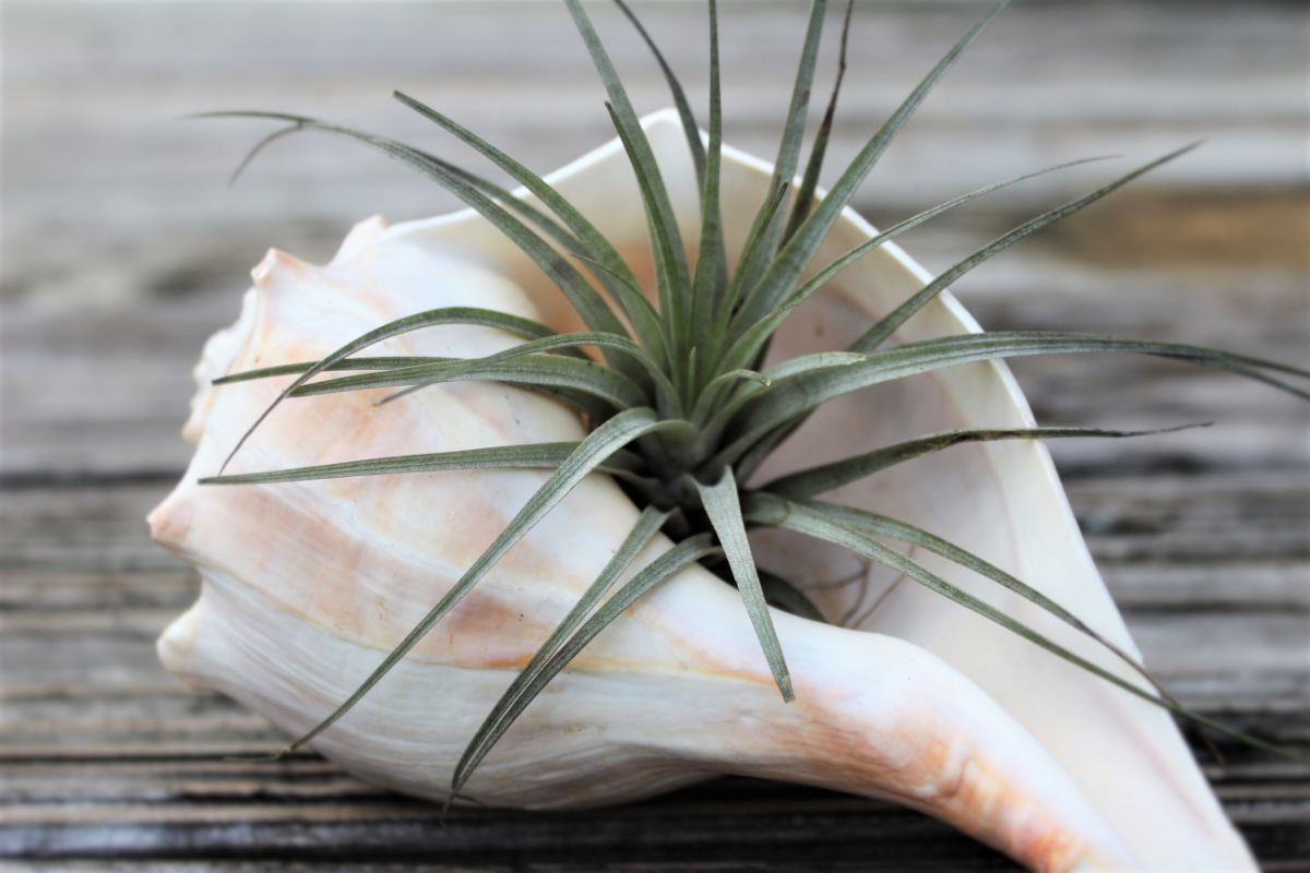 Tillandsia in a seashell on top of the wooden table indoors