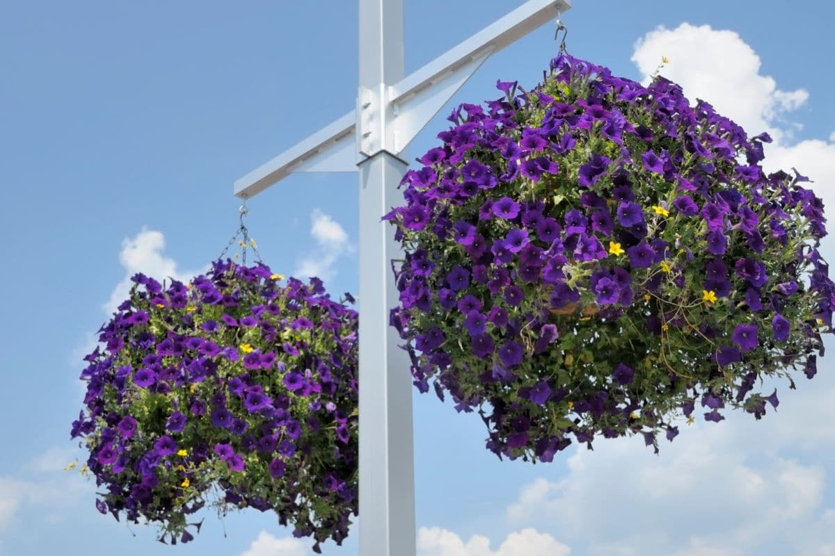 purple flowers in pots hanging in a stand against the sky