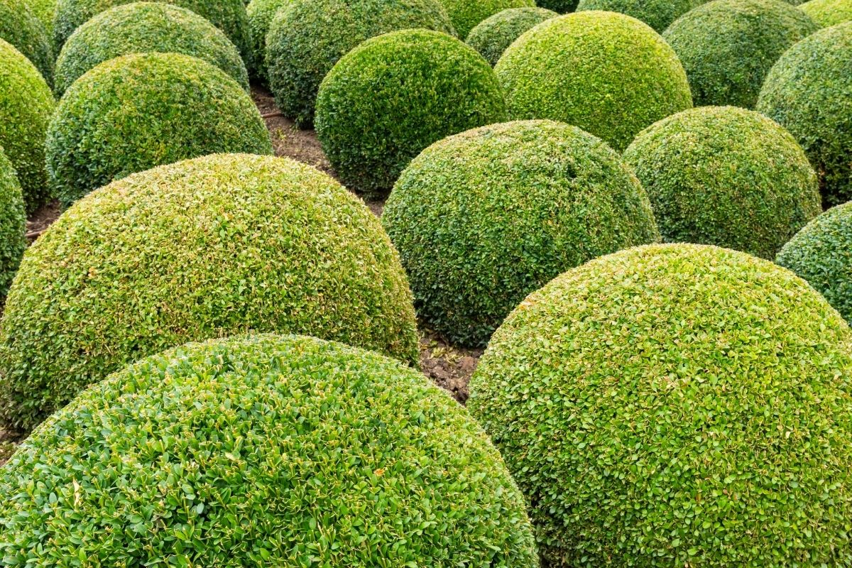 boxwood ball in the garden landscape