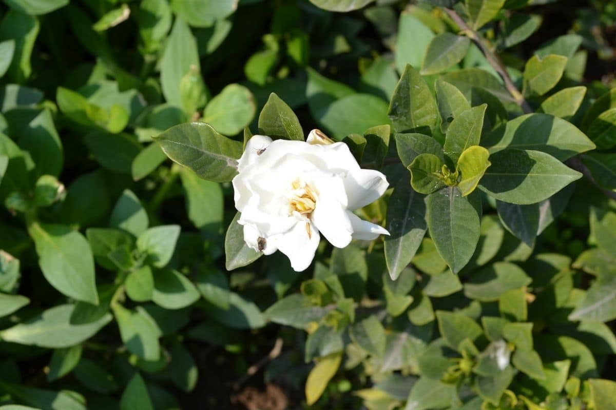 white camellia flowers in the garden