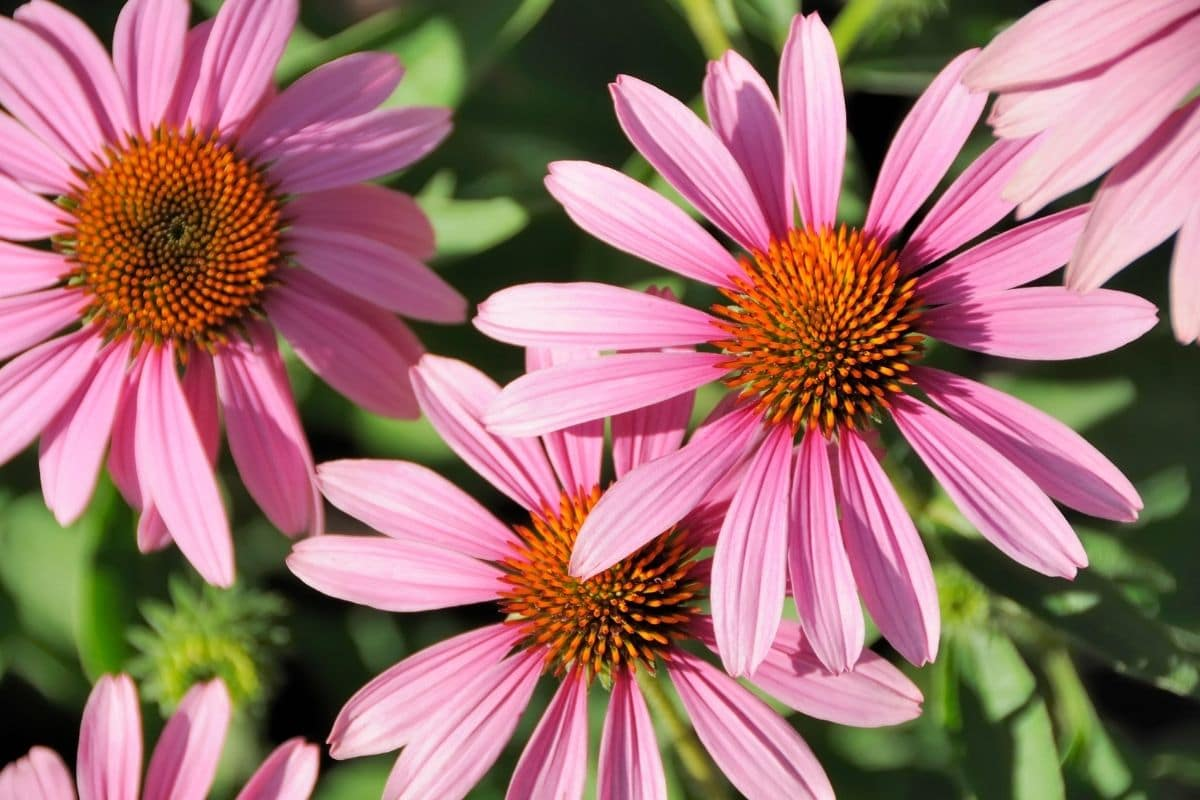 Pink Coneflower under the sun during summer in the garden