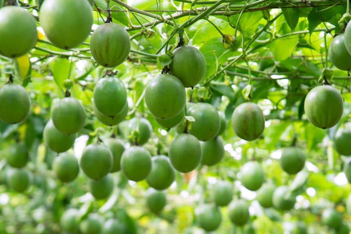 passion fruits hanging in the greenhouse