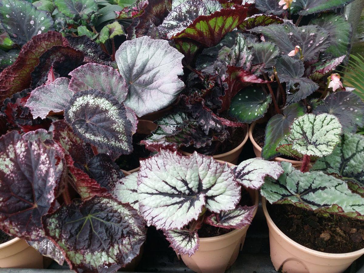 growing Rex Begonia plants in pots