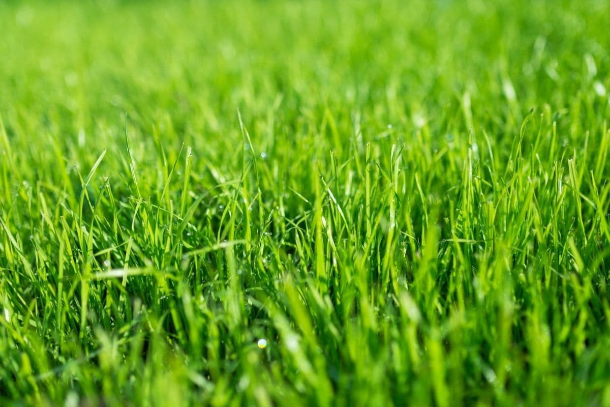 close up of grass in the lawn