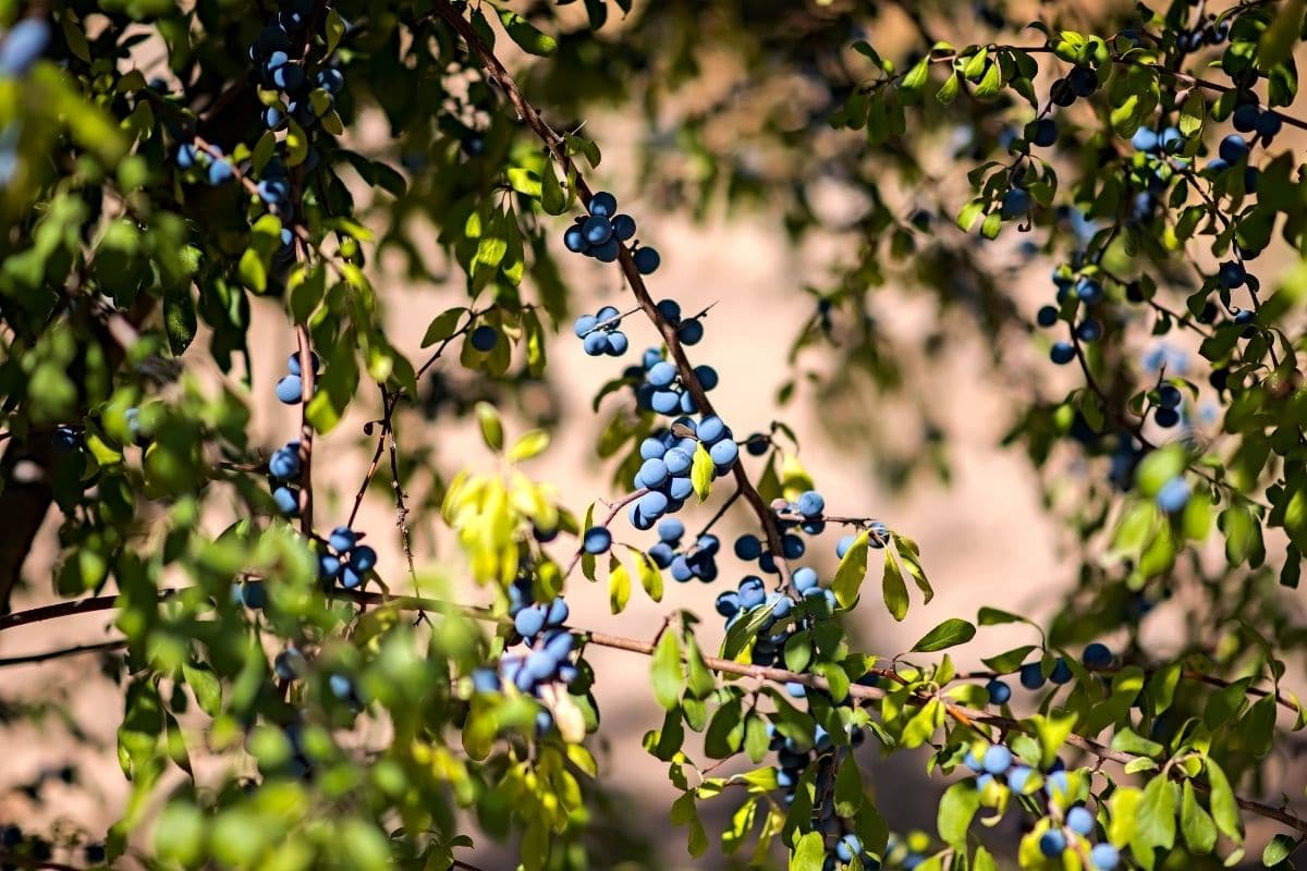blueberries hanging from a branch in the garden
