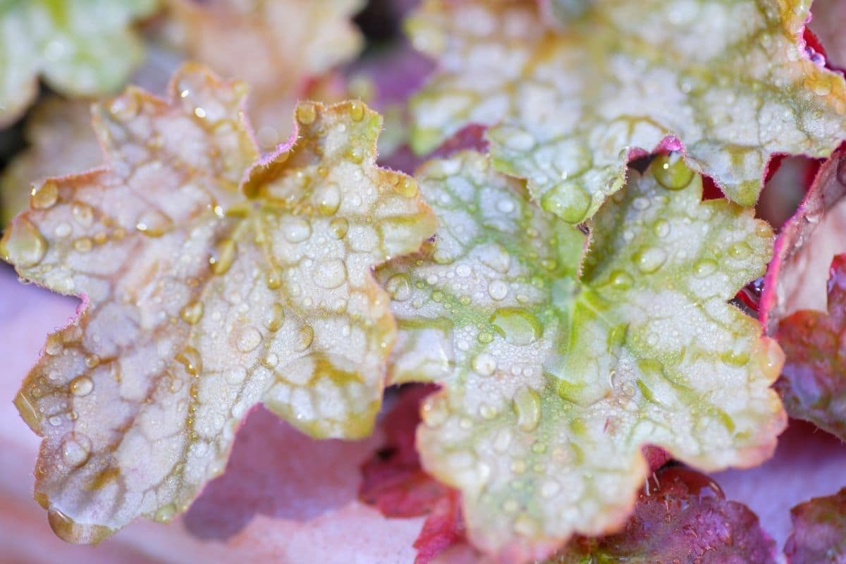 small Heuchera also known as coral bells, with green, pink, veined foliage growing in the garden wet with raindrop
