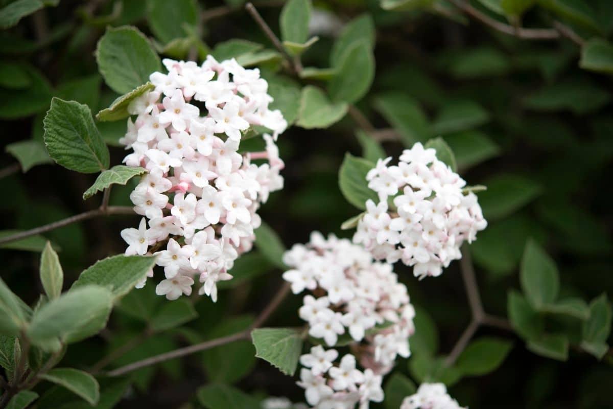 Korean spice viburnum or Viburnum carlesii with white flowers