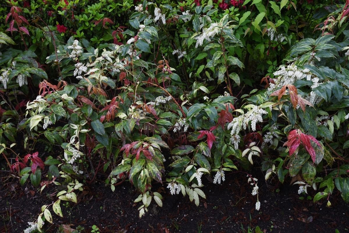 Leucothoe shrub, an evergreen and deer-resistant plant in the garden