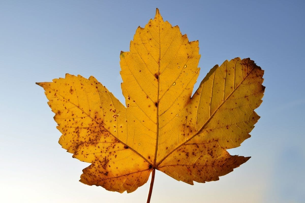 maple leaf against the blue sky