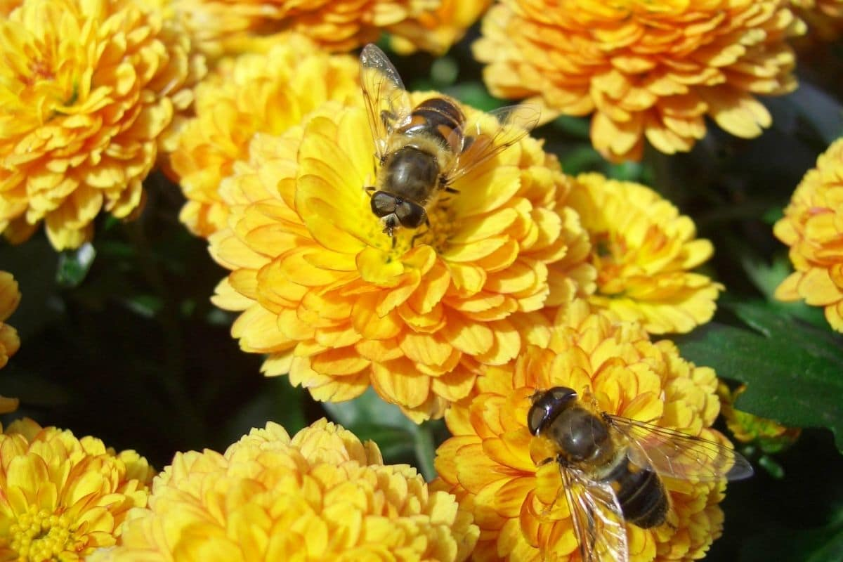 hoverflies feeding from the yellow marigold flowers